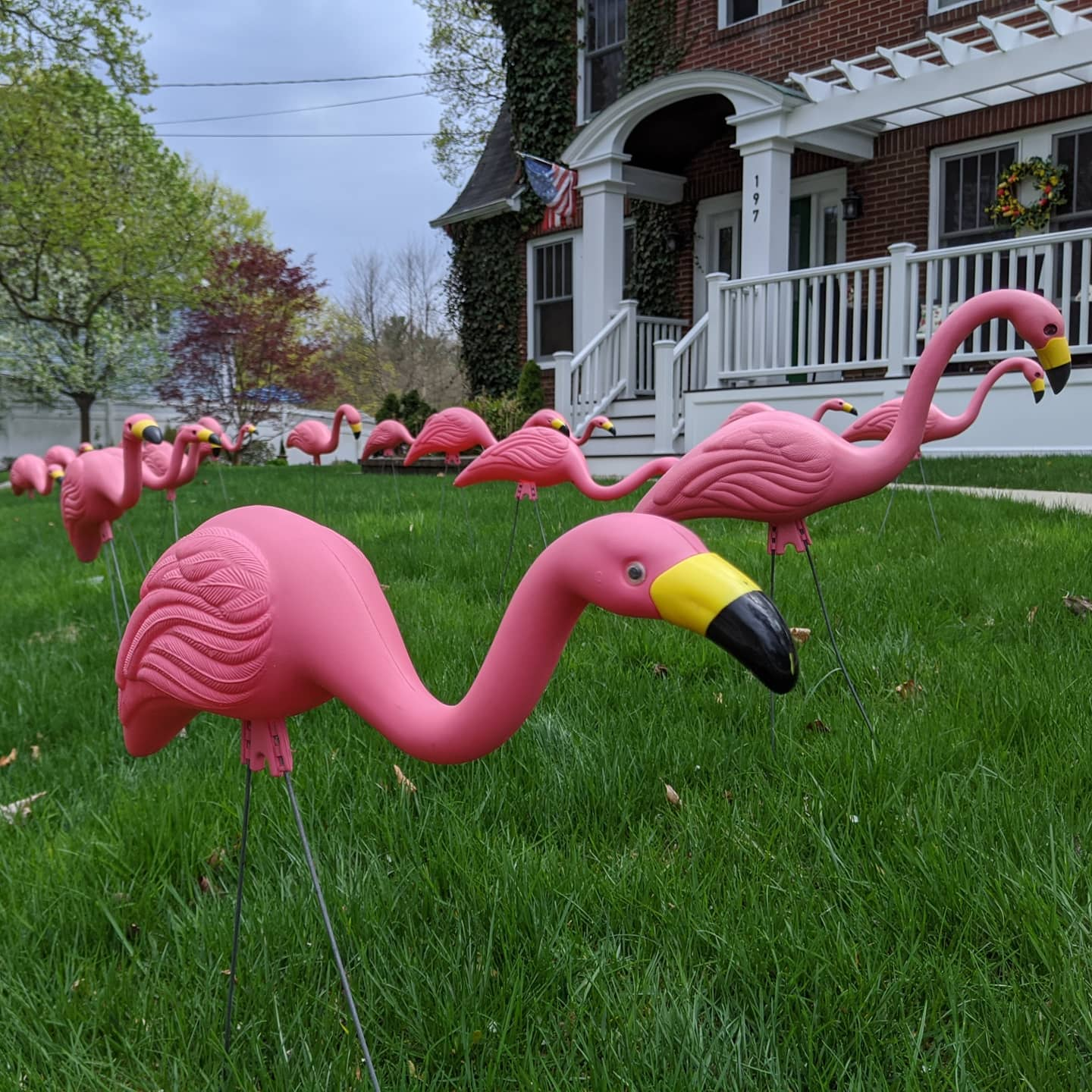 flock of plastic flamingos in front yard of home